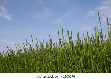 Grain field of timothy against a bright blue sky.