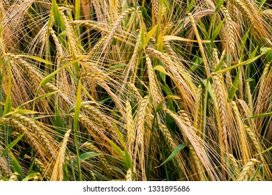 grain harvest in the field