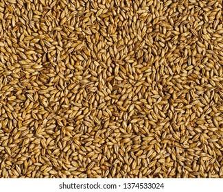 Grain for Making Beer
