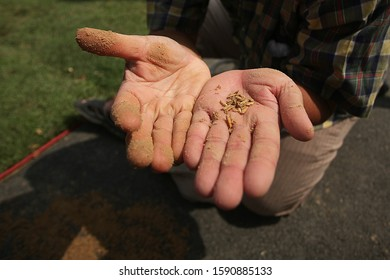 The Grain in the palm