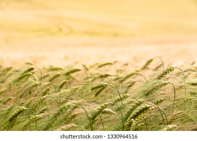 Grain plants ears close up at golden field horizon background (copy space)