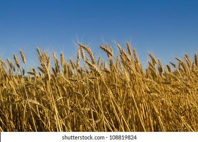 grain ready for harvest