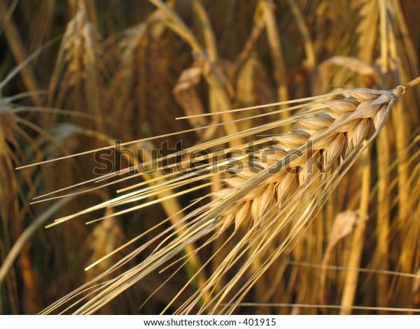 Grain at summer