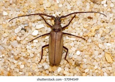 Grain Support Beetle / Megopsis scabricornis