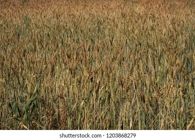 grain of unripe wheat on the field, summer field with wheat on a summer day under the bright sun