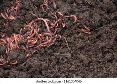 Grain with Worms - Vermicomposting for fertilizer production. Texture of Dirty Dark Humus with clot of Worms.