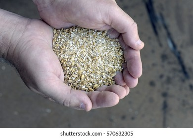 Grains of barley, one of the main sources of food for people and animals, raw material for countless products, including alcoholic drinks
