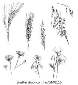 Grains and field flowers drawings