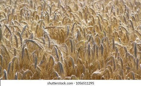 Grains ripening in the field, grain, ears