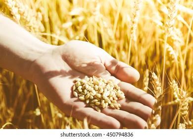 Grains of wheat in hand. Wheat field