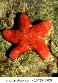 Grainy  cushion star (Choriaster granulatus)
