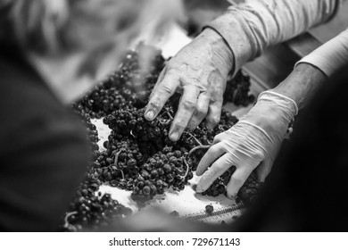Grainy, high-contrast black and white image of male hands sorting wine grapes on a conveyor belt. Shallow depth of field.
