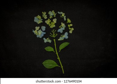 Grainy image of deconstructed blue hydrangea flower (hydrangea macrophylla) against black velvet background with space for copy