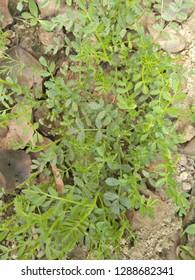 gram plant in field