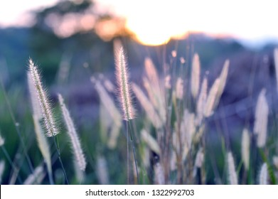 Gramineae herbs moved by the wind in vintage color/ Selective focus of Poaceae grasses as nature background.
