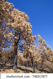 Gran Canaria after wild  fire, October 2017, Las Cumbres - the highest areas of the island, Canarian Pine Trees with yellow needles