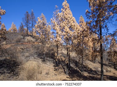 Gran Canaria after wild  fire, October 2017, Las Cumbres - the highest areas of the island