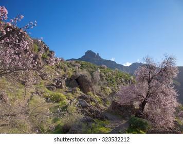 Gran Canaria, Caldera de Tejeda in February, almond trees in full bloom, time of almond-blossom festival