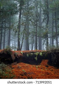 Gran Canaria Canary Islands pine tree forest on foggy morning, Spain