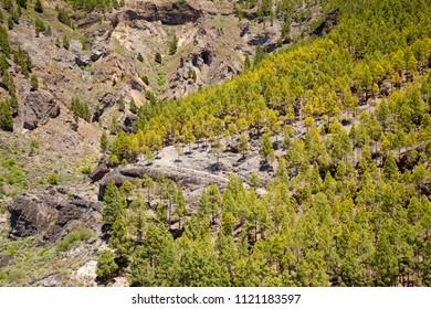 Gran Canaria, Canary pines in Barranco de Tejeda
