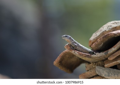 Gran Canaria giant lizard (Gallotia stehlini). Juvenile. Pajonales. Integral Natural Reserve of Inagua. Tejeda. Gran Canaria. Canary Islands. Spain.