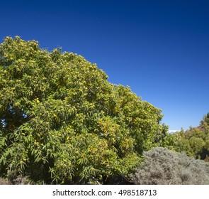 Gran Canaria, hiking path Cruz de Tejeda - Teror, sweet chestnut tree