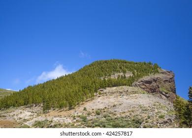 Gran Canaria, hiking route Cruz de Tejeda - Artenara, canarian pine trees on Montana de Artenara