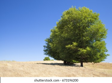 Gran Canaria,  July, central areas  landscape, field elm trees