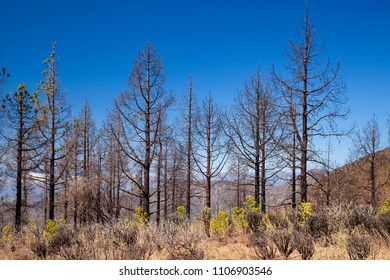 Gran Canaria, June 2018, area in Las Cumbres affeced by the wildfire in September 2017, Canarian pine trees showing signs of recuperation