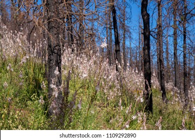 Gran Canaria, June 2018, forest floor in areas in Las Cumbres affected by fire in 2017 covered by flowering plants