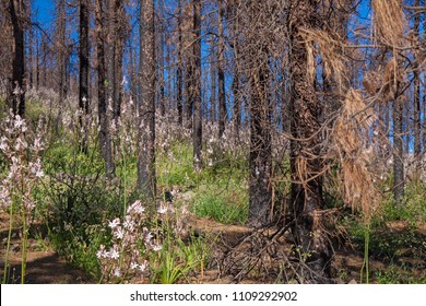 Gran Canaria, June 2018, forest floor inareas in Las Cumbres affected by fire in 2017 covered by flowering plants