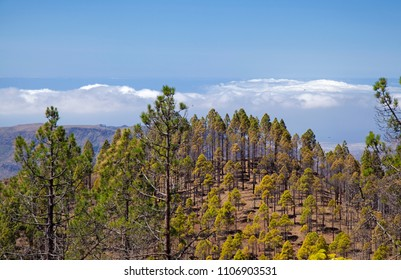 Gran Canaria, June ,area in Las Cumbrescoered with CanarianPine forest, sea of clouds in the background