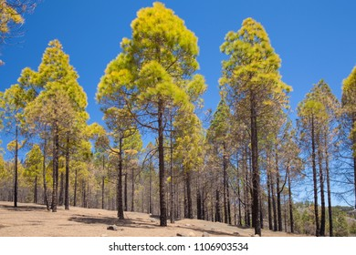 Gran Canaria, June, area in Las Cumbres, some trees affeced by the wildfire