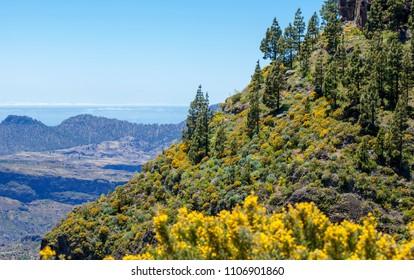 Gran Canaria, June, views along hiking path Cruz de Tejeda - Artenara, flowering slopes