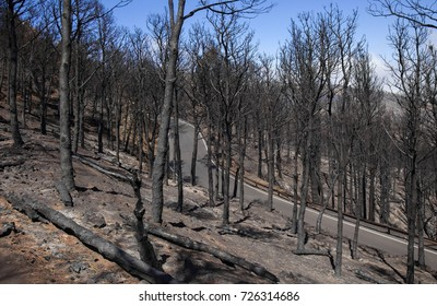 Gran Canaria, Las Cumbres, the highest areas of the island, after forest fire of september 2017, burned pine forest close to Degollada de Becerra, road