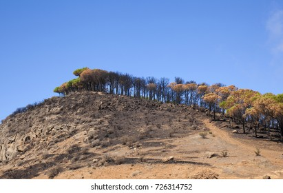 Gran Canaria, Las Cumbres, the highest areas of the island, after forest fire of september 2017, partially burned pine grove on a hill, burned grass
