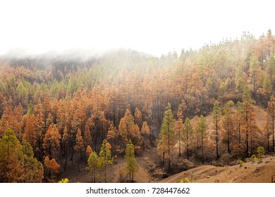 Gran Canaria, Las Cumbres, the highest areas of the island, after forest fire of september 2017, partially burnt pine forest, yellow needles, black trunks, cloud cover on the top makes it pure white