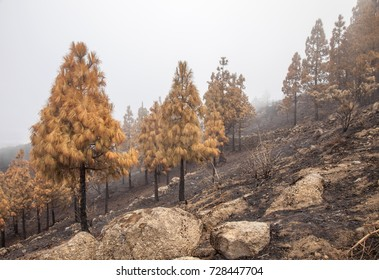 Gran Canaria, Las Cumbres, the highest areas of the island, after forest fire of september 2017, burned area arouf the start of Barranco de La Mina ravine