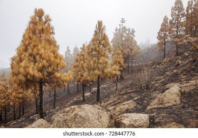 Gran Canaria, Las Cumbres, the highest areas of the island, after forest fire of september 2017, burnt pine forest