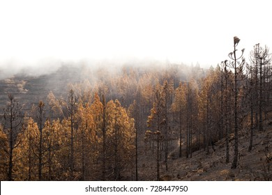 Gran Canaria, Las Cumbres, the highest areas of the island, after forest fire of september 2017, burnt pine forest, shot against the light, cloud cover creates  pure white on the top