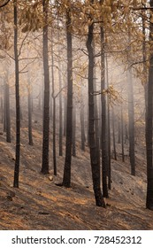 Gran Canaria, Las Cumbres, the highest areas of the island, after forest fire of september 2017, burnt pine forest, black trunks, yellow needles