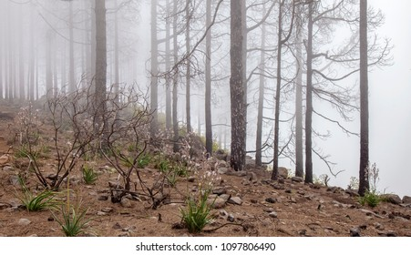 Gran Canaria, May 2018, area in Las Cumbres affeced by the wildfire in September 2017, herbaceous plants growing and flowering on forest floor
