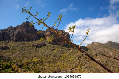 Gran Canaria, May, montains of the central part of the island, stalk of agave plant in the foreground, rock formation Chimirique in the background