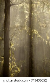 Gran Canaria, Natural Park Tamadaba, humid pine forest in autumn, sun rays in the mist