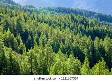 Gran Canaria,  nature park pine forest Tamadaba, reforested areas