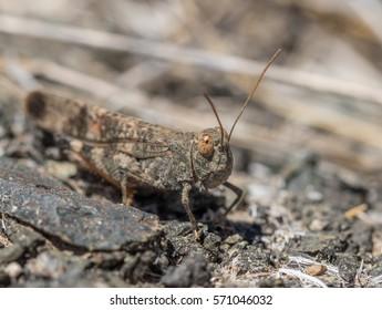 Gran canaria sand grasshopper Sphingonotus guanchus