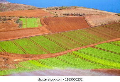 Gran Canaria, September, leafy vegetables growing on red volcanic soil, Santa Maria de Guia municipality
