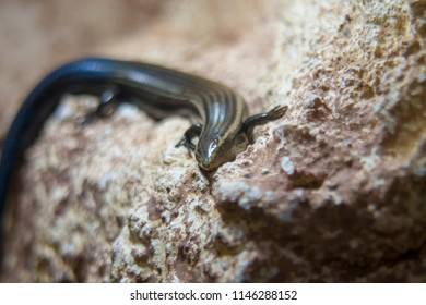 Gran Canaria skink close-up, shallow dof.The Gran Canaria skink (Chalcides sexlineatus) is a species of skink in the Scincidae family which is endemic to Gran Canaria.