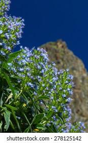 Gran Canaria, Valsequillo municipality, Echium callithyrsum; Blue bugloss of Gran Canaria flowers around Tenteniguada;