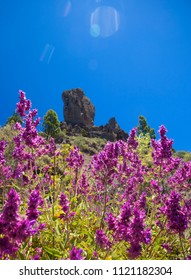 Gran Canaria, view from Las Cumbres, the highest areas of the island, purple inflorescences of Salvia canariensis, Canary sage, on the foreground, Iconic Roque Nublo in the background, some sun flare